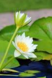 Άσπρο Waterlily Στοκ Εικόνες