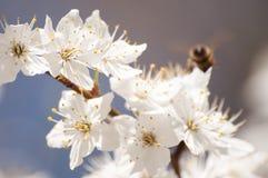 Άσπρο wildflower που ανθίζει την άνοιξη, μέλισσα που πετά γύρω στοκ φωτογραφία με δικαίωμα ελεύθερης χρήσης