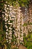 Άσπρο wistaria στο ηλιοβασίλεμα Στοκ φωτογραφίες με δικαίωμα ελεύθερης χρήσης