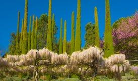 Άσπρο wisteria στην πλήρη άνθιση στον κήπο την άνοιξη Στοκ Εικόνες