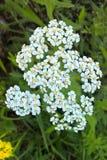 Άσπρο yarrow λουλούδι Στοκ Φωτογραφία