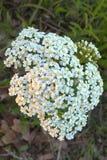 Άσπρο yarrow λουλούδι Στοκ φωτογραφία με δικαίωμα ελεύθερης χρήσης