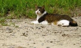 Άσσος η γάτα Στοκ Εικόνες