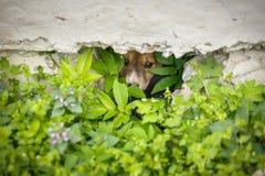 Άστεγη δορά κουταβιών από τους ανθρώπους Τα σκυλιά κοιτάζουν από τις κρύπτες τους Τα σκυλιά οδών έκρυψαν στη χλόη Στοκ Εικόνες