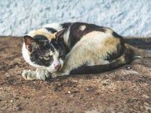 Άστεγη τυφλή γάτα τριών χρωμάτων Βρώμικη μόνη γάτα που φαίνεται κάτι στοκ εικόνες