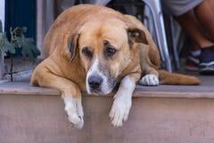 άστεγοι Περιπλανώμενο σκυλί Ένα κεφάλι ενός σκυλιού Στοκ εικόνα με δικαίωμα ελεύθερης χρήσης