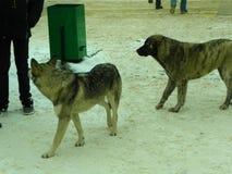 άστεγοι σκυλιών pets Τα σκυλιά περπατούν στην οδό Το σκυλί έχει χάσει τον ιδιοκτήτη του στοκ εικόνα