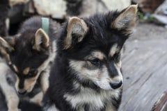 άστεγοι σκυλιών pets Τα σκυλιά περπατούν στην οδό Το σκυλί έχει χάσει τον ιδιοκτήτη του στοκ φωτογραφία με δικαίωμα ελεύθερης χρήσης