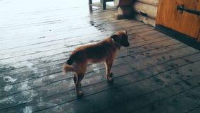 Άστεγο σκυλί που στέκεται στο ξύλινο μέρος τη βροχερή ημέρα, που κοιτάζει γύρω, μοναξιά απόθεμα βίντεο