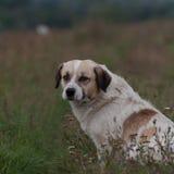 Άστεγο σκυλί που στηρίζεται και κοιτάζοντας μπροστά Στοκ εικόνα με δικαίωμα ελεύθερης χρήσης