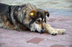 Άστεγο σκυλί στην οδό Στοκ φωτογραφία με δικαίωμα ελεύθερης χρήσης