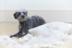 Άσχημα συμπεριφερμένο σκυλί που σχίζει επάνω το μαξιλάρι στο σπίτι Στοκ Φωτογραφία