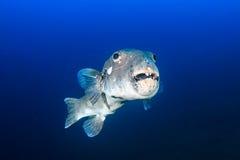 Άσχημα ψάρια! Στοκ φωτογραφία με δικαίωμα ελεύθερης χρήσης