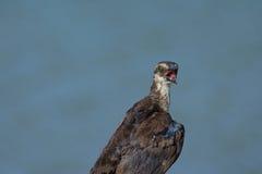 Άσχημος, molting grackle squawks δεδομένου ότι είναι σκαρφαλωμένο στο φράκτη Στοκ Φωτογραφίες