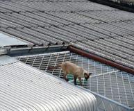 Άτακτη γάτα που περπατά στην κοντινή ευρεία στέγη σπιτιών Στοκ Φωτογραφίες