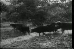 άτακτη φυγή βοοειδών απόθεμα βίντεο