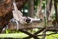 Άτακτο άσπρο gibbon στοκ φωτογραφία με δικαίωμα ελεύθερης χρήσης