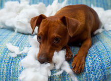 Άτακτο εύθυμο σκυλί κουταβιών μετά από να δαγκώσει ένα μαξιλάρι Στοκ εικόνα με δικαίωμα ελεύθερης χρήσης