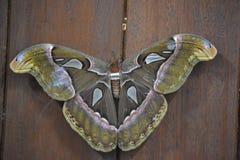 Άτλαντας - η πεταλούδα σκώρων είναι sri lankan ` s που το Biggestfather είναι μεγάλη υπολογιζόμενη διάρκεια ζωής είναι υψηλό Στο  στοκ φωτογραφία με δικαίωμα ελεύθερης χρήσης