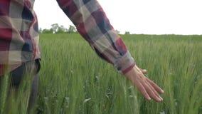 Άτομο γεωπόνων που χαϊδεύει τις πράσινες εγκαταστάσεις στο οργανικό αγρόκτημα περπατώντας στον τομέα κριθαριού στο υπόβαθρο του τ απόθεμα βίντεο