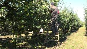 Άτομο επάνω στα μήλα μιας σκαλών επιλογής από ένα δέντρο μηλιάς την ηλιόλουστη θερινή ημέρα 4K φιλμ μικρού μήκους