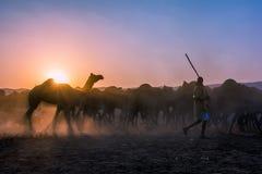 Άτομο καμηλών που περπατά τις καμήλες του στο έδαφος καρναβαλιού στην έκθεση καμηλών Pushkar στοκ φωτογραφίες
