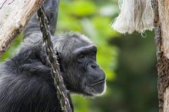 άτομο πίθηκων Στοκ φωτογραφίες με δικαίωμα ελεύθερης χρήσης