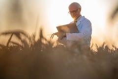 Άτομο που κάνει την έρευνα για το γενετικά τροποποιημένο σιτάρι στον τομέα σίτου στοκ εικόνες με δικαίωμα ελεύθερης χρήσης