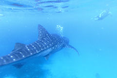 Άτομο που κολυμπά με αναπνευτήρα με έναν καρχαρία φαλαινών σε Oslob, Φιλιππίνες Στοκ εικόνες με δικαίωμα ελεύθερης χρήσης
