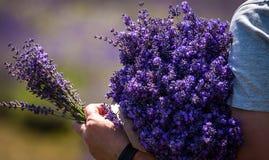 Άτομο που κρατά μια ανθοδέσμη lavender αμέσως μετά από τη συγκομιδή Στοκ Φωτογραφία