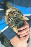 Άτομο που κρατά την γκρίζα γάτα Στοκ Εικόνες