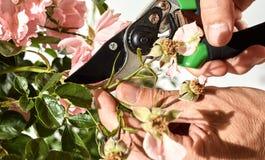 Άτομο που κόβει τα νεκρά λουλούδια ενός ροδαλού θάμνου Στοκ Φωτογραφίες