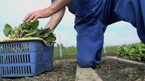 Άτομο που κόβει την πράσινη σαλάτα από τον κήπο σε σε αργή κίνηση φιλμ μικρού μήκους