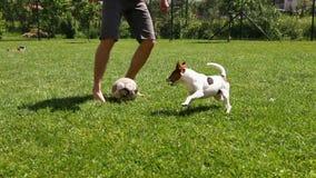Άτομο που παίζει το ποδόσφαιρο με το σκυλί του Russell γρύλων του στην πράσινη χλόη απόθεμα βίντεο