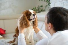 Άτομο που περνά καλά με το σκυλί στον καναπέ το πρωί Το αλαζόνας σπανιέλ του Charles βασιλιάδων που παίζει στο σπίτι στοκ εικόνες