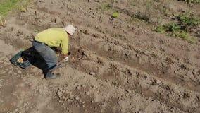 Άτομο που συμμετέχεται ηλικιωμένο στο σκάψιμο των πατατών απόθεμα βίντεο