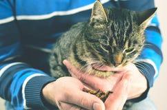 Άτομο που ταΐζει την γκρίζα γάτα Στοκ Εικόνες