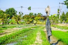Άτομο που τείνει την πλοκή κήπων του λαχανικών και ρυζιού με το καπέλο και Στοκ εικόνα με δικαίωμα ελεύθερης χρήσης