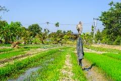 Άτομο που τείνει την πλοκή κήπων του λαχανικών και ρυζιού με το καπέλο και Στοκ Φωτογραφίες