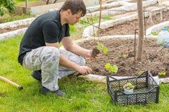Άτομο που φυτεύει τα σπορόφυτα αγγουριών στο θερινό εξοχικό σπίτι τους Στοκ φωτογραφία με δικαίωμα ελεύθερης χρήσης