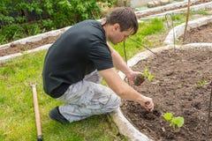 Άτομο που φυτεύει τα σπορόφυτα αγγουριών στο θερινό εξοχικό σπίτι τους Στοκ εικόνες με δικαίωμα ελεύθερης χρήσης