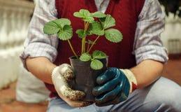 Άτομο που φυτεύει τη φράουλα Στοκ φωτογραφία με δικαίωμα ελεύθερης χρήσης
