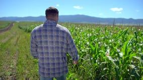 Άτομο της Farmer που περπατά μέσω της φυτείας του καλαμποκιού Αρσενικά χέρια αγροτών που ελέγχουν και που επιθεωρούν την ποιότητα απόθεμα βίντεο