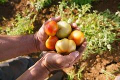 Άτομο Farmer στις ντομάτες εκμετάλλευσης εργασίας στα χέρια του στοκ εικόνα