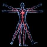 Άτομο Vitruvian - αγγειακό σύστημα Στοκ εικόνα με δικαίωμα ελεύθερης χρήσης