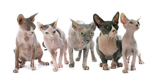Άτριχες γάτες Sphynx στοκ φωτογραφία