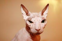 Άτριχη άσπρη γάτα στοκ φωτογραφίες με δικαίωμα ελεύθερης χρήσης