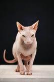 Άτριχη γάτα στο σκοτεινό υπόβαθρο στοκ φωτογραφία με δικαίωμα ελεύθερης χρήσης