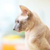 Άτριχη γάτα στοκ εικόνες
