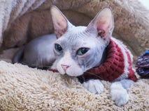 Άτριχη γάτα Sphynx στο καφετί κρεβάτι γουνών στοκ φωτογραφία με δικαίωμα ελεύθερης χρήσης